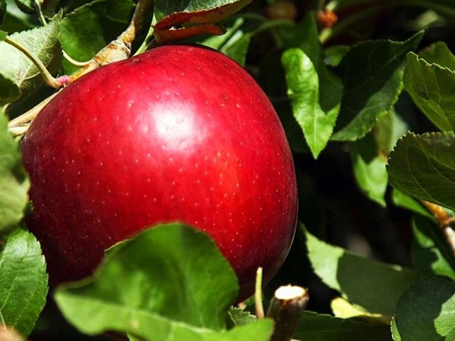Продажа яблок, которые хранятся год
