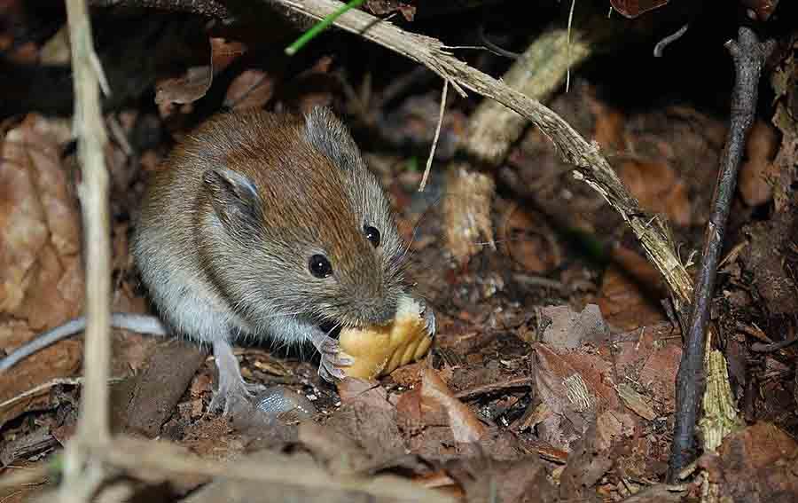 Новое нашествие мышей в Австралии: видео