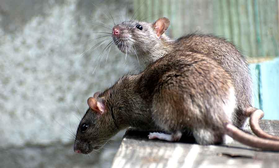 Крысы следят за людьми