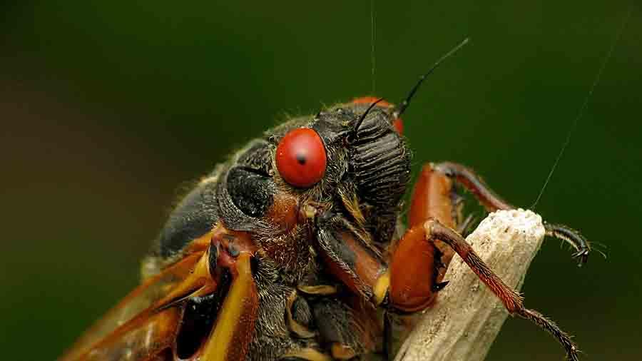Нашествие цикад в США: видео