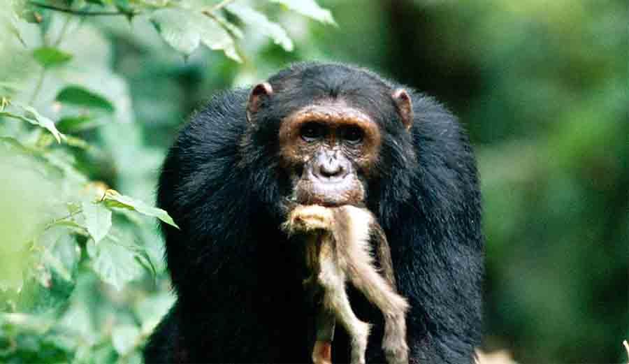 Обезьяны уже убивают других обезьян