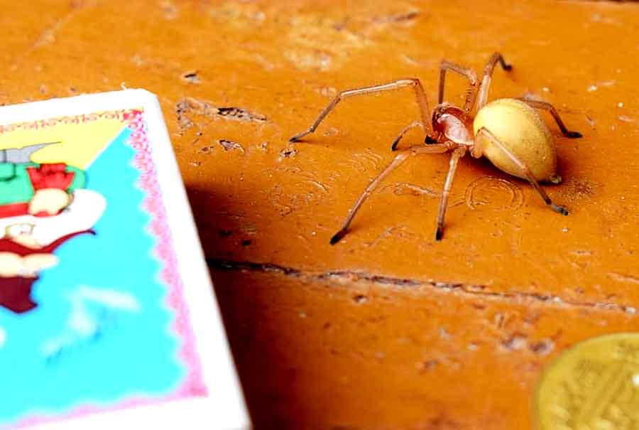 В Купянске появились ядовитые пауки
